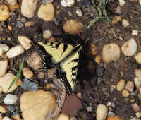 5-28 canal tiger swallowtail 2 ps rz.jpg (747690 bytes)