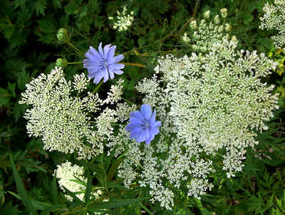 7-10 canal queen anne's lace qnd chicory ps rz.jpg (668019 bytes)
