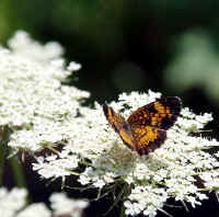 7-19 canal checkerspot on queen anne's lace 3 ps rz.jpg (615900 bytes)
