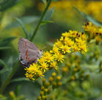 8-10 canal butterfly on goldenrod ps rz.jpg (393251 bytes)
