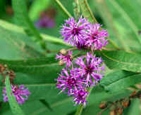 9-24 canal ironweed PS rz.jpg (435834 bytes)